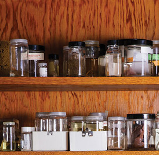 Dozens of specimens preserved in formaldehyde line the shelves of a large wooden cabinet in the specimen room. Photo by Joanna Chattman