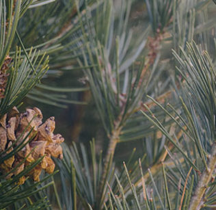 The College's only lacebark pine (Pinus bungeana), on the north side of Kendall Hall parking lot.