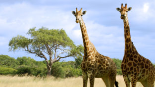 Two giraffes in a landscape of dry grasses and short trees